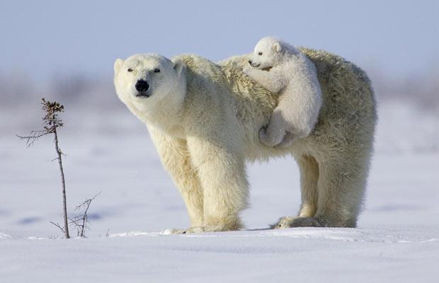 polar-bear-mother-and-cub